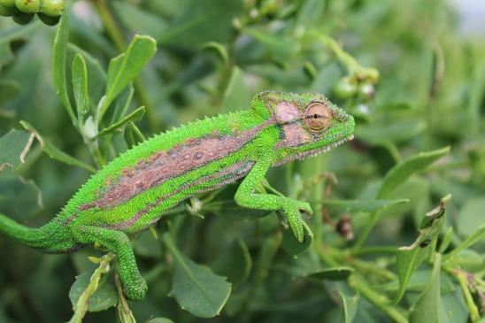 chameleon-827517_1920.jpg