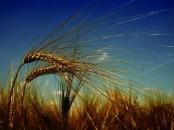 wheat-3244059_640